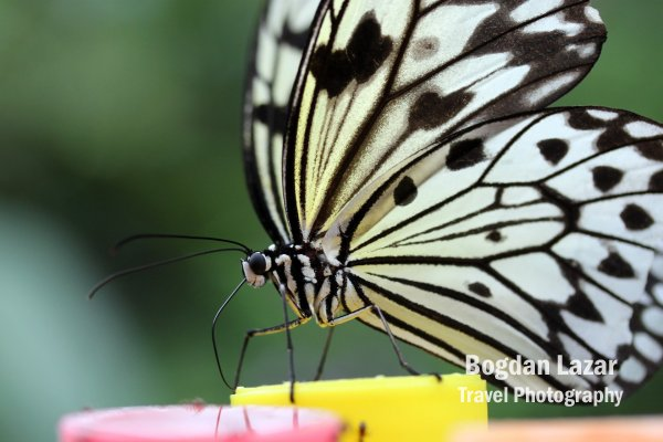 Detail of a Paper Kite Butterfly (Idea Leuconoe)