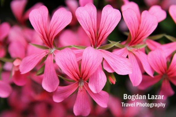 Pink geranium flowers in cascade