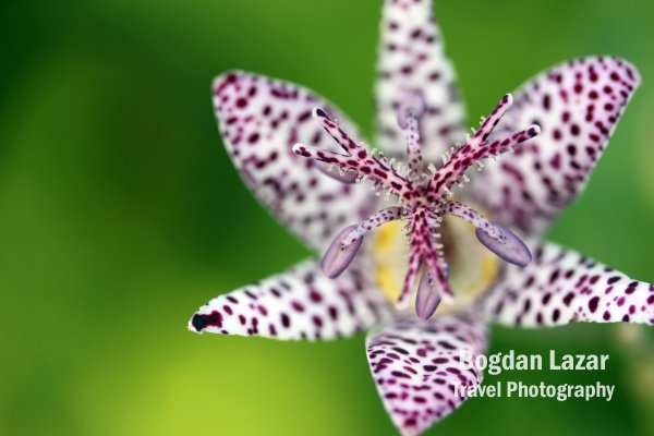 Close-up on a toad lily (Tricyrtis hirta)