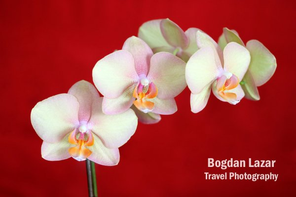 A Phalaenopsis Orchid against deep-red background