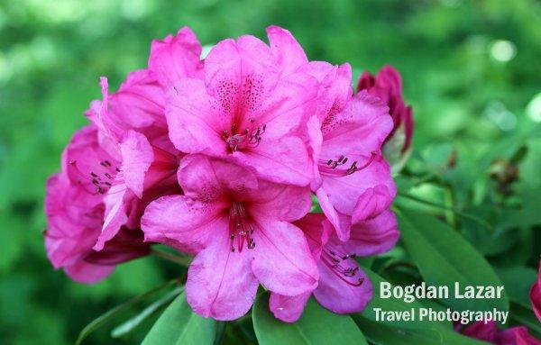 Flori de Azalea