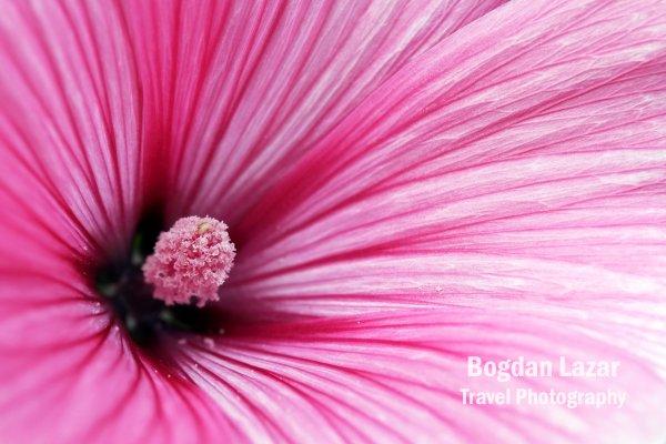 Lavatera trimestris cv. Twins Hot Pink