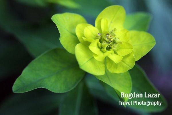 Euphorbia Palustris - Marsh Spurge plant