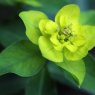 Euphorbia Palustris - Marsh Spurge plant